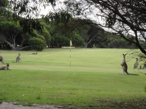 Kangaroos_mallacoota golf and country club