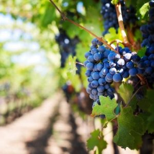 South Gippsland Food and Wine trail - grapes - square