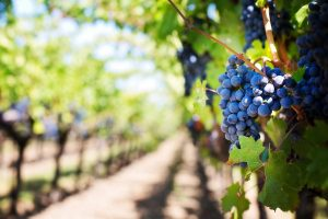 South Gippsland Food and Wine trail - grapes
