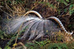 Tarra Bulga National Park - lyrebird image